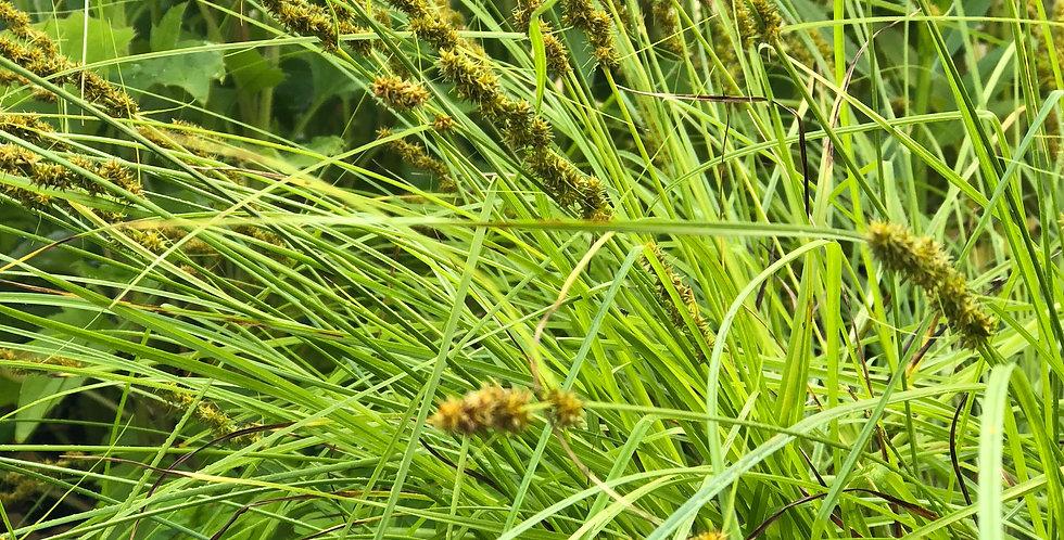 Fox Sedge, Carex Vulpinoidea