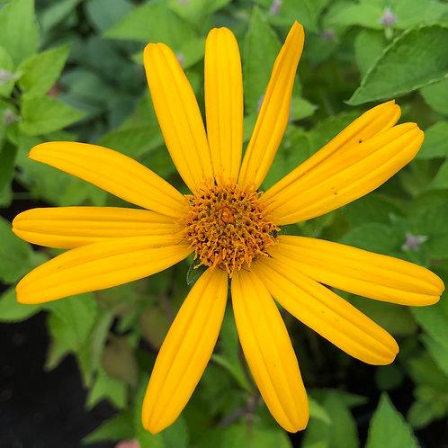 False sunflower - Heliopsis helianthoids