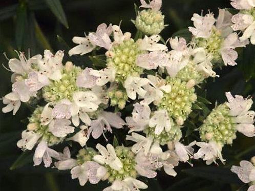 Hairy mountain mint - Pycnanthemum verticillatum