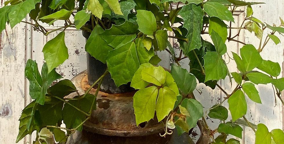 Grape Leaf Ivy