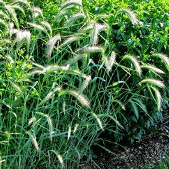 Canada wild rye - Elymus canadensis