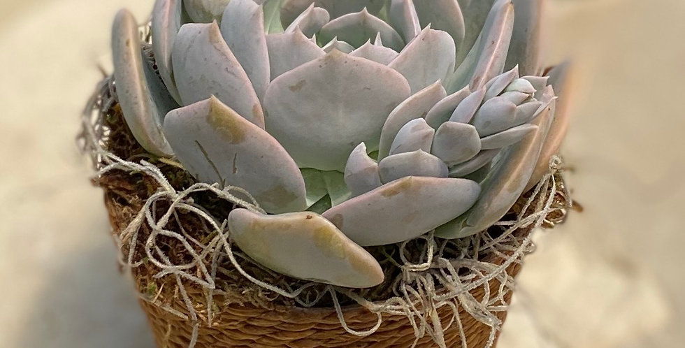 Holy Gate Succulent in Rope Pot