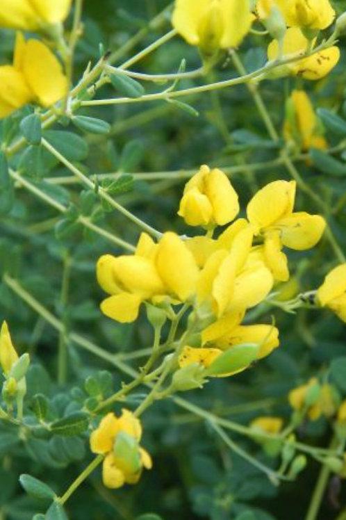 Yellow false indigo- Baptisia tinctoria