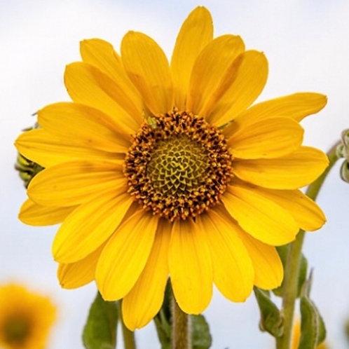 Ashy sunflower - Helianthus mollis