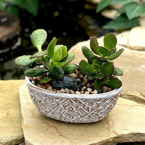 Jade plants in oval pot