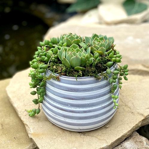 Green succulents in striped pot