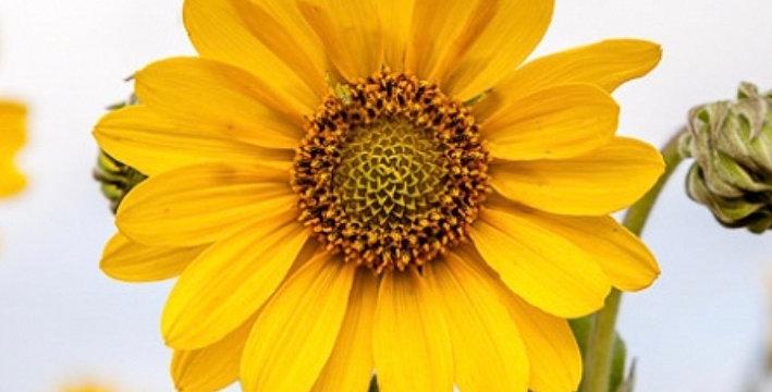 Ashy Sunflower, Helianthus Mollis
