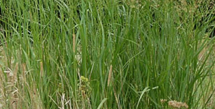 Switchgrass, Panicum Virgatum