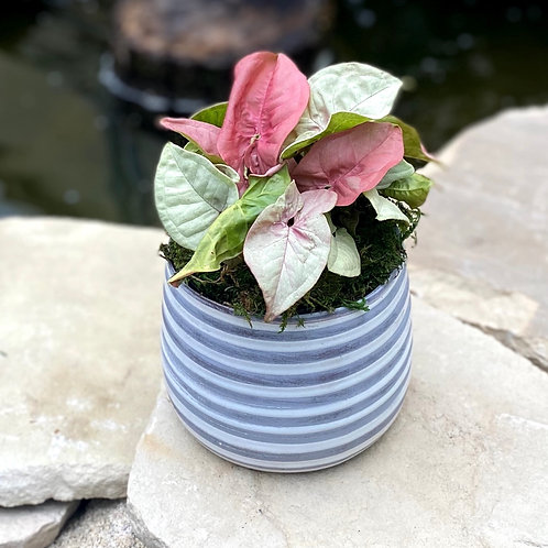 Pink Syngonium in striped pot