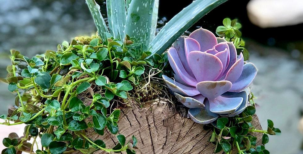 Aloe Log Planter