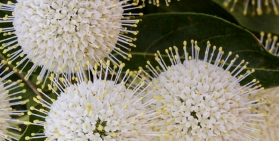 Buttonbush, Celphalanthus Occidentalis