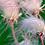 Thumbnail: Prairie smoke - Geum trifolium