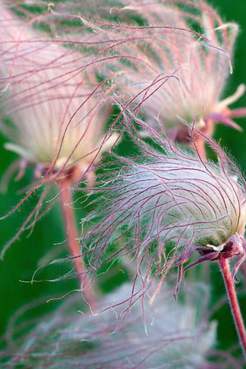 Prairie smoke - Geum trifolium
