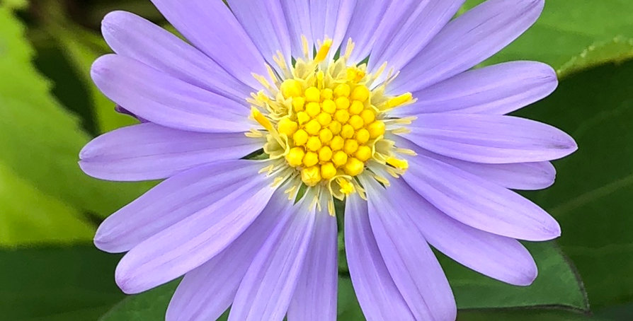 Smooth Blue Aster, Symphyotrichum Leave