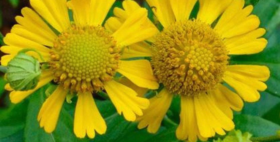 Sneezeweed, Helenium Autumnale