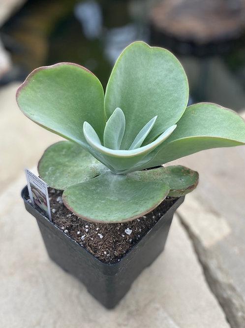Flap jack succulent