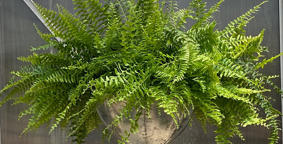 "15"" Boston Fern Galvanized Hanging Basket"