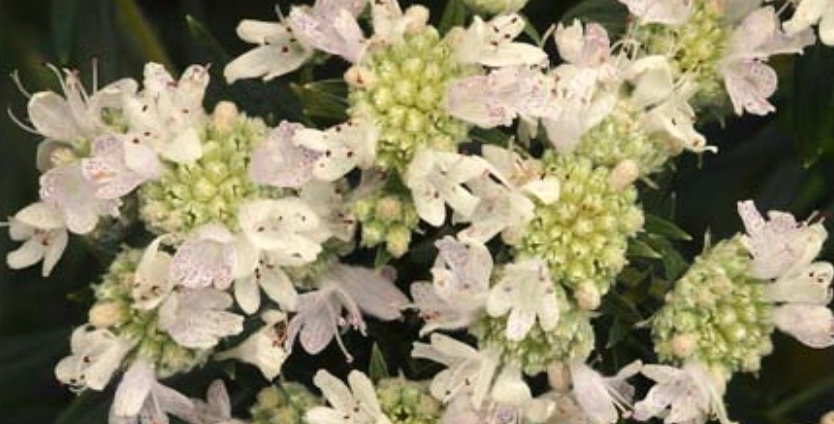 Hairy Mountain Mint, Pycnanthemum Verticillatum