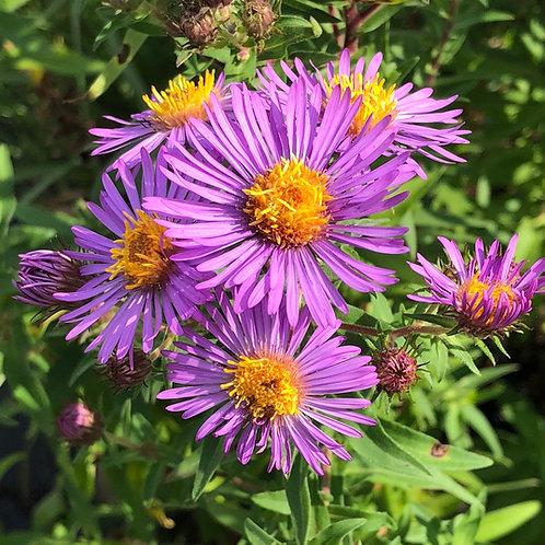New England aster - Symphyotrichum novae-angliae