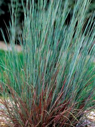 Little bluestem - Schizachyrium scoparium