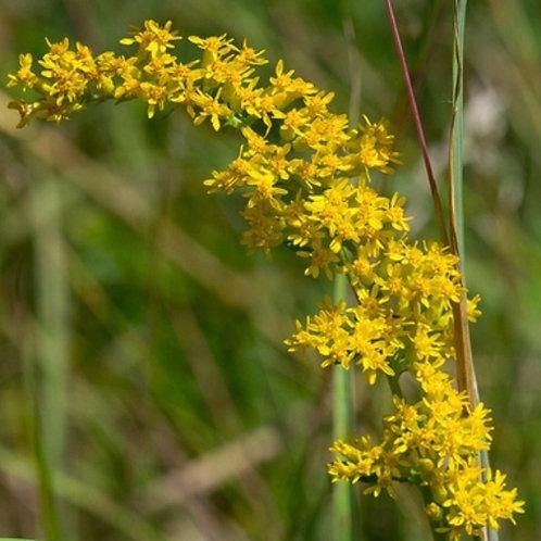 Old-field goldenrod - Solidago nemoralis