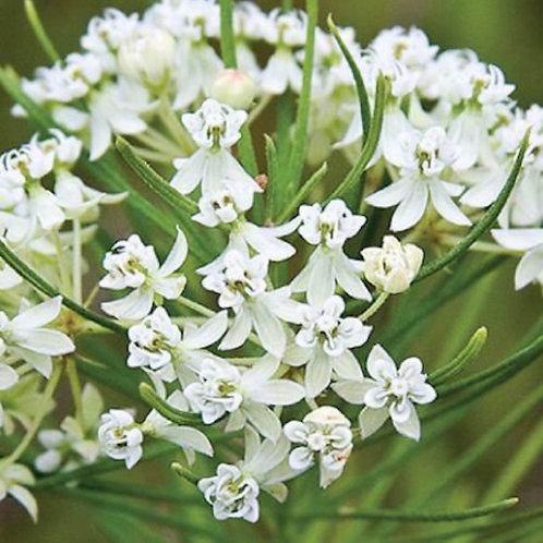 Whorled milkweed- Asclepias verticillata