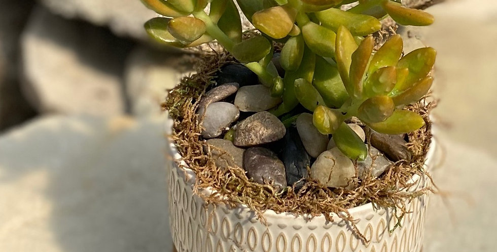 Golden Succulent in Almond Pot w/ Stand