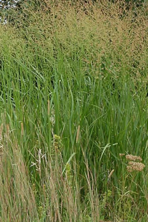 Switchgrass - Panicum virgatum