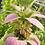 Thumbnail: Spotted Bee Balm, Monarda Punctata