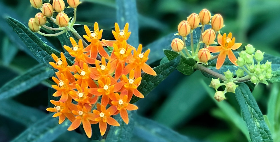 Butterfly Weed, Ascepias Tuberosa