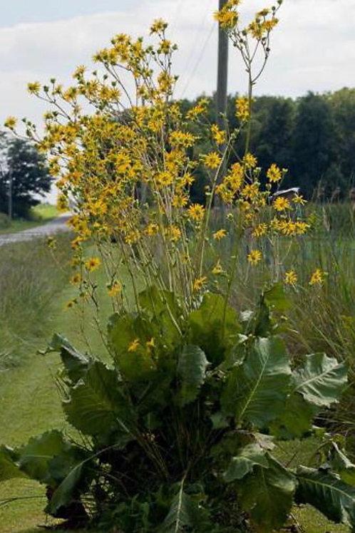 Prairie dock - Silphinium terebinthinaceum
