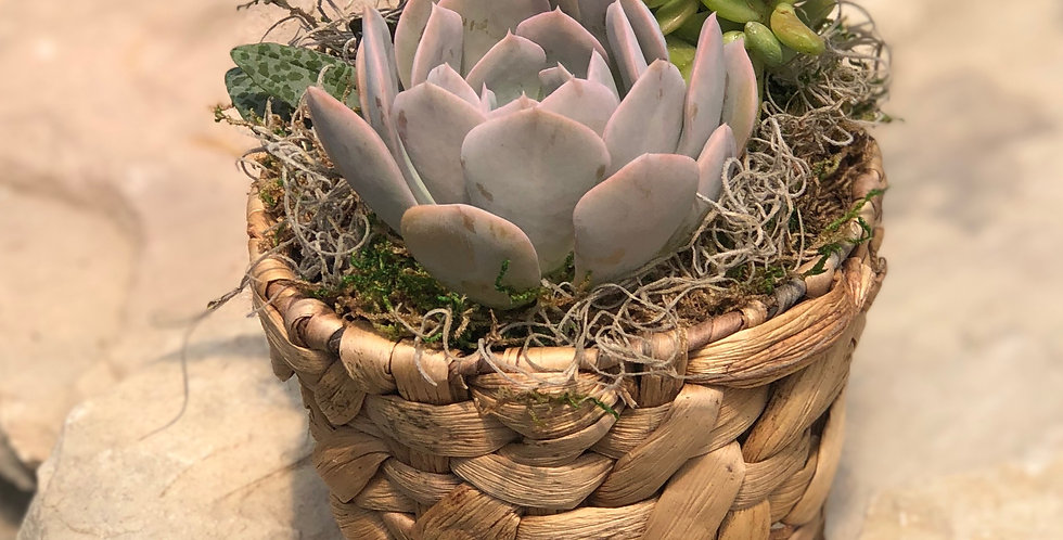 Mixed Succulents in Woven Basket