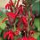 Thumbnail: Cardinal flower - Lobelia cardinalis