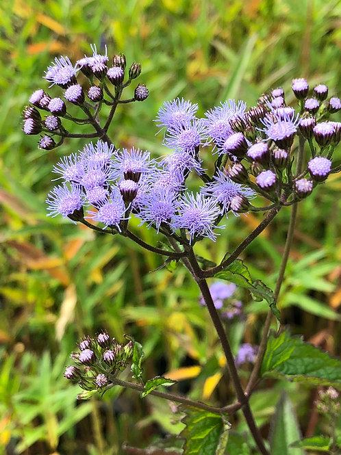 Blue mist flower - Conoclinium coelestinum