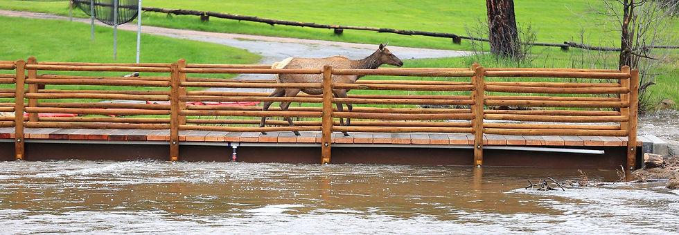 Elk on bridge at Evergreen Lake House