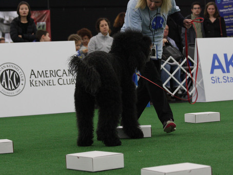 First Barbet to work Westminster demonstrations