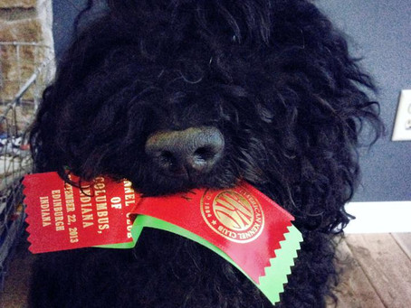 First Biscay Barbet to earn Rally Title (RN in AKC)