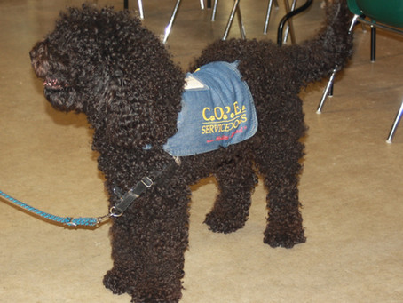 First Biscay Barbet Certified Service Dog