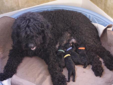 Jasper Puppies 2012