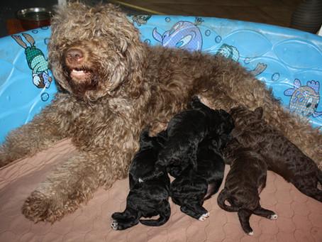 Garnet Puppies 2011