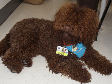 First Biscay Barbet to earn an AKC title!