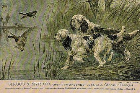 Chien and Chienne Barbet Siroco and Myrr