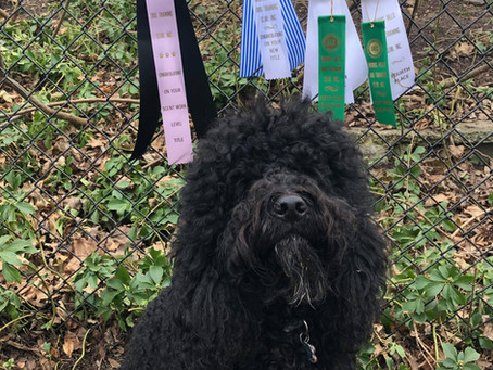 First Barbet to earn AKC Scent Work Titles