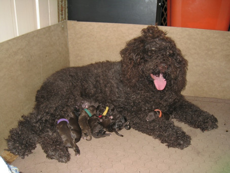 Topaz Puppies 2013