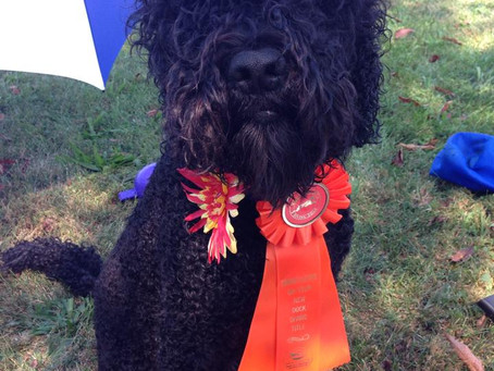 First Biscay Barbet UAD UKC Title!