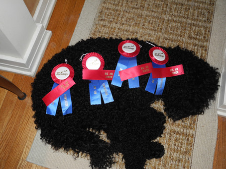 First Biscay Barbet to earn a Dock Dogs Title!