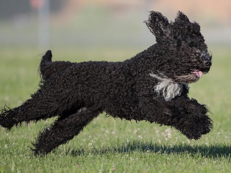 First Biscay Barbet to earn a Lure Coursing Title (AKC)