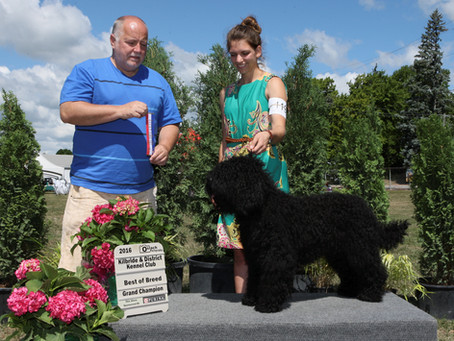 First Biscay Barbet Grand Champion (CKC)