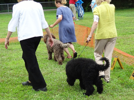 First Biscay Barbet to participate in AKC-FSS Open Show