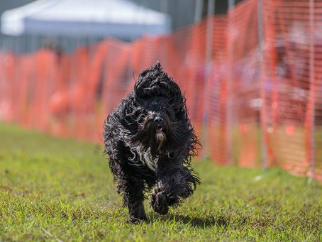 First Biscay Barbet to earn a FastCAT title in AKC (USA)